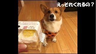 クリスマスケーキ欲しさに必死にアピールする愛犬が可愛くて投稿しまし...