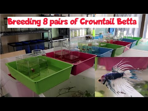 Breeding 8 Pairs Of Crowntail Betta