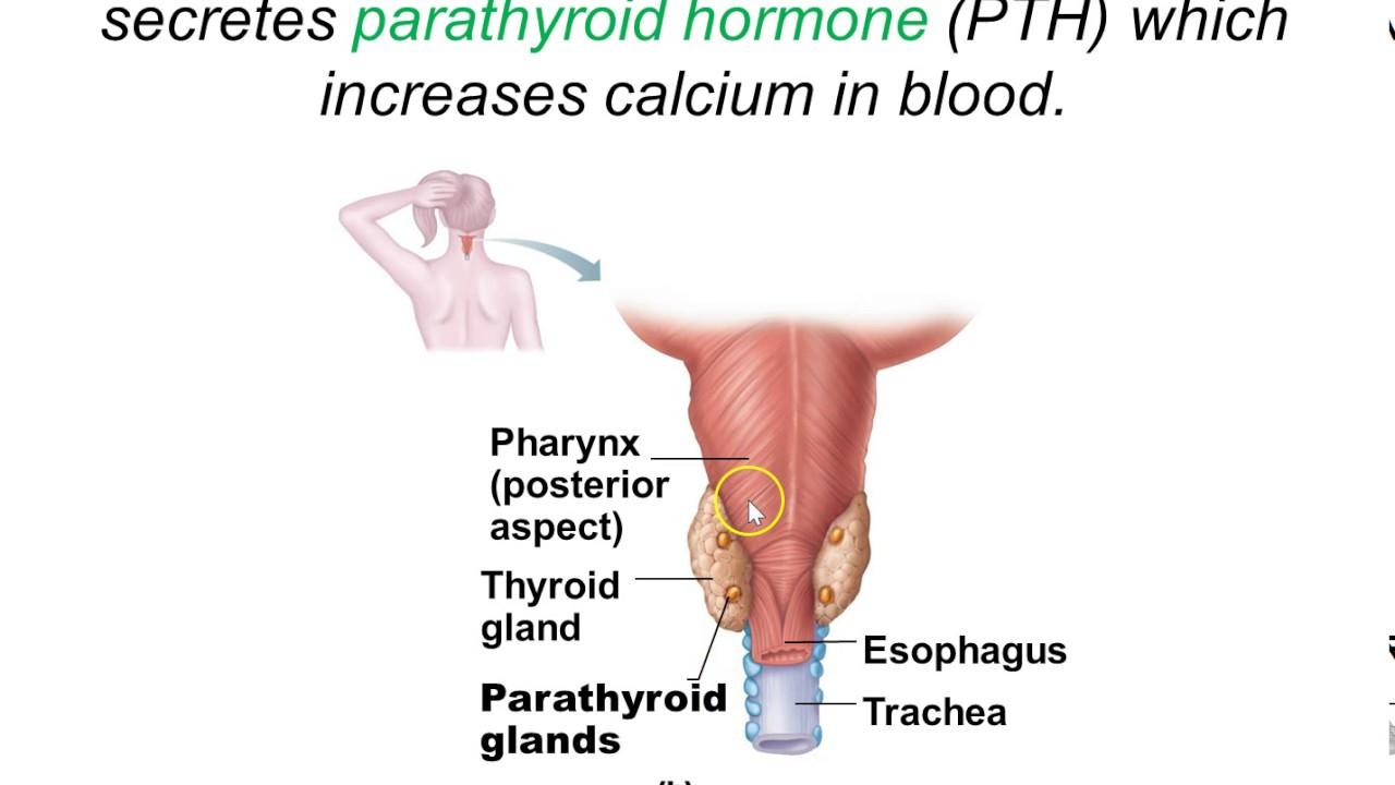Endocrine Thyroid Gland Youtube