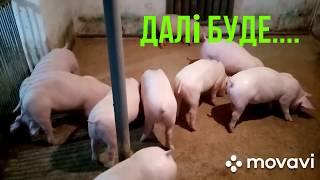 Свиньи кума.Спустя один месяц.Результат.Откорм свиней.Покупка свиней на Серво Люкс Генетик.Часть 2