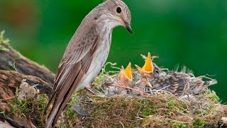 Серая мухоловка кормит птенцов (Spotted flycatcher)