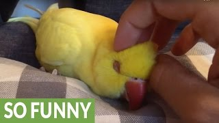 Sleepy parrot demands to be cuddled thumbnail