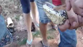 anaconda em balbinos
