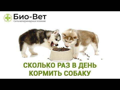 Сколько Раз В День Кормить Собаку & Режим Питания Собаки. Ветклиника Био Вет