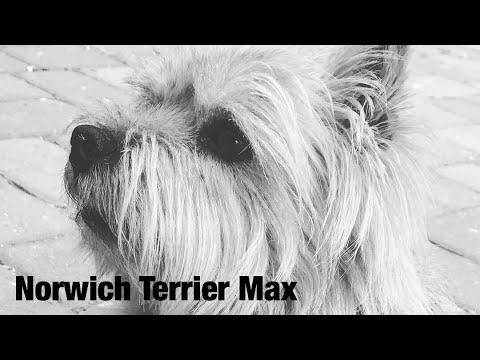 Norwich Terrier Max