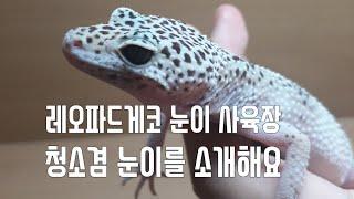 [파충류]레오파드게코 눈이 사육장 청소겸 소개도해요.