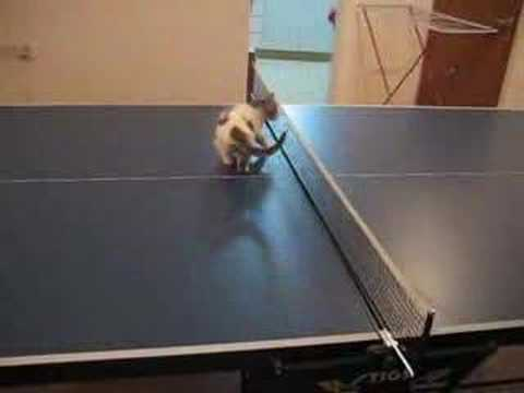 Thumbnail for Cat Video Cat ping-pong
