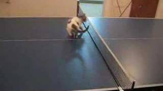 Cat ping-pong