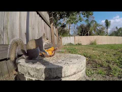 Eastern Gray Squirrel | Squirrels eating a Sweet Potato up close with visit from bird and cat