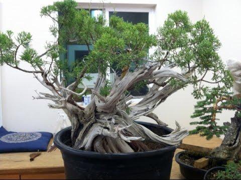 California Juniper Bonsai 1 Youtube