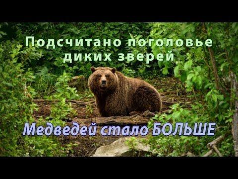 Вопрос: Как будут жить медведи в центральной части России Как они перенесут…?