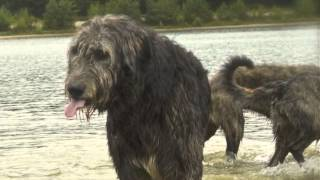 Irish Wolfhound walk