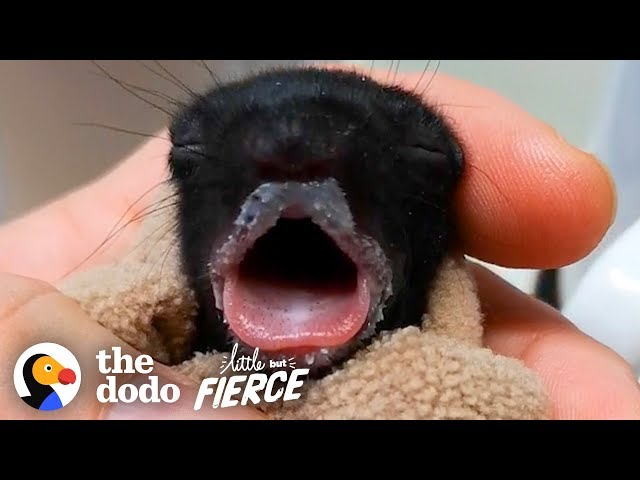 Furless Baby Squirrel Grows Up to be Cute...   The Dodo Little But Fierce