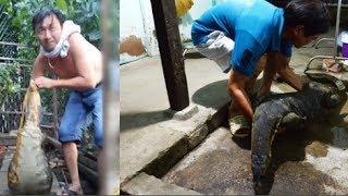 Chuyện lạ Việt Nam: Kì đà khổng lồ ôm bụng bầu bò vào nhà dân, bị đàn chó giăng lưới và cái kết!!!