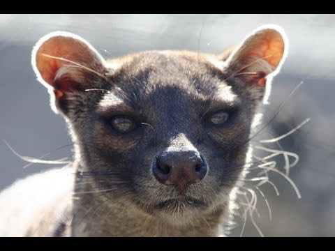 fossa amazing predator youtube