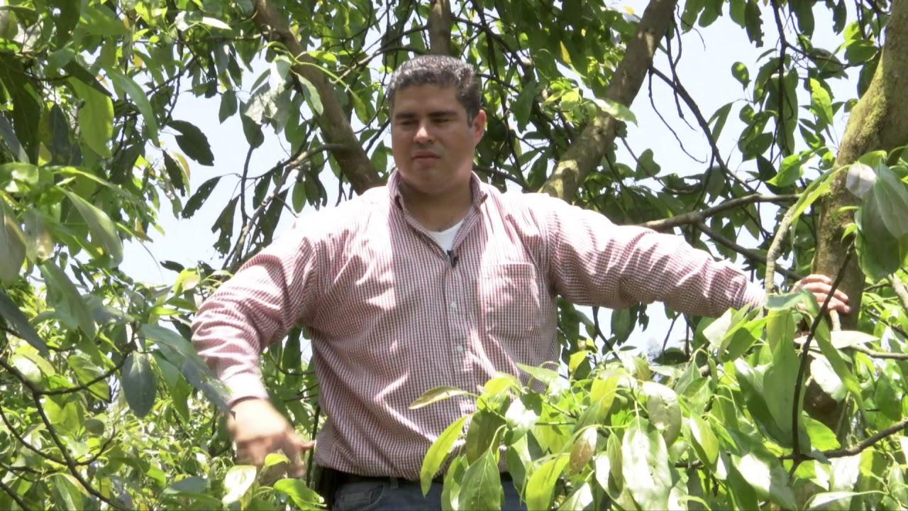 Veracruz Agropecuario Poda De Huerto De Aguacate Hass Youtube