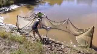 Jade Perch harvest 65,000 fry
