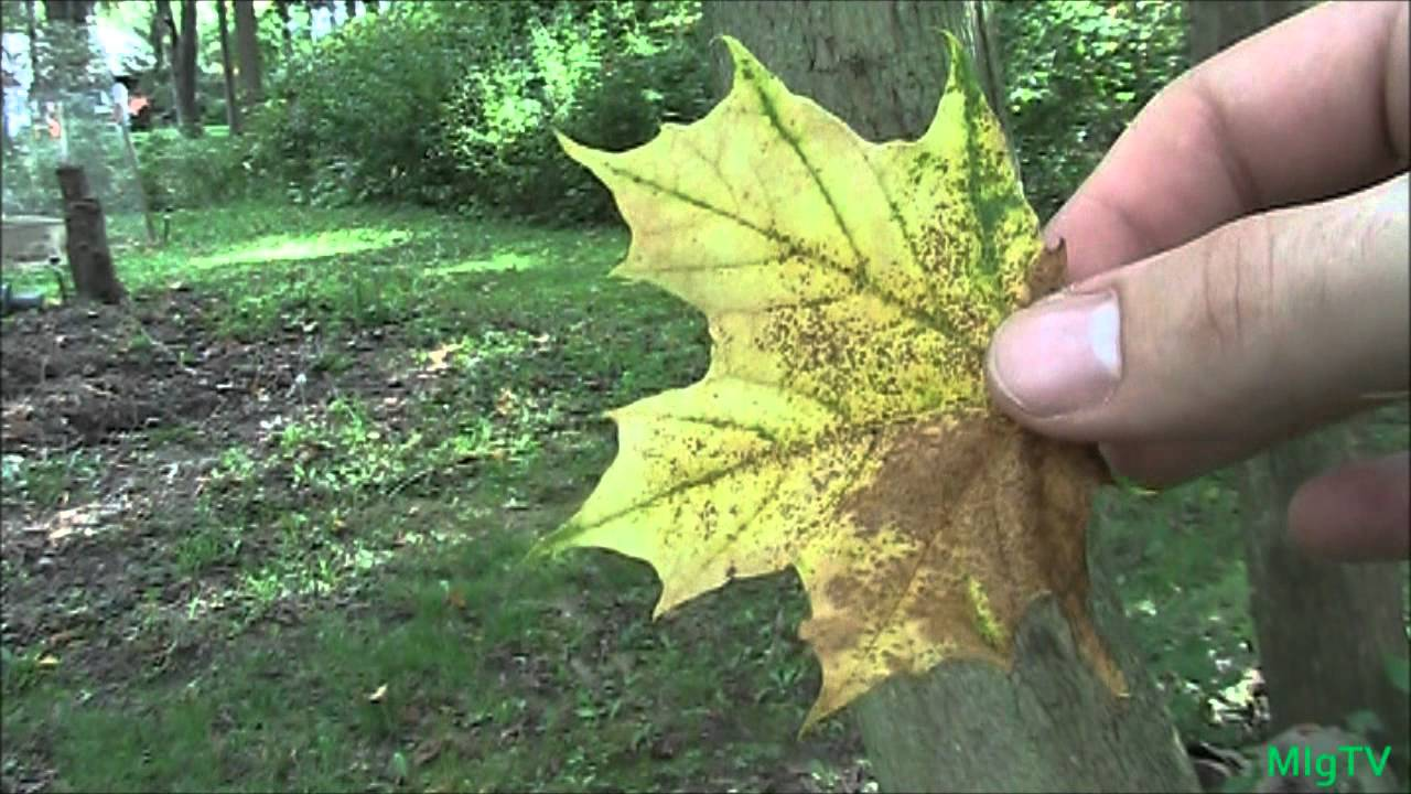 simple method for identifying maple trees for tapping youtube rh youtube com Maple Color simple guide to meditation