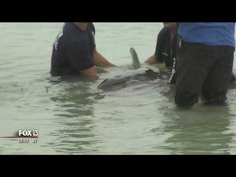 Crews rescue two distressed whales from Sand Key beach