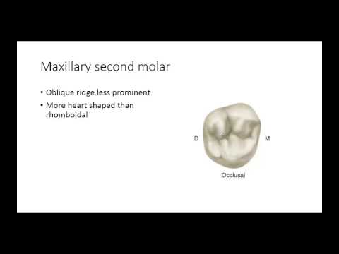 Dental Anatomy: Permanent Molars