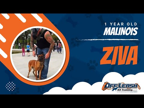 Malinois Ziva | confidence building | environmental work | distractions | Nova dog trainers thumbnail