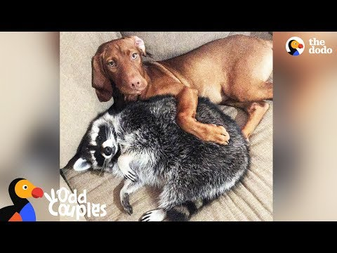 Dog Loves Protecting Her Raccoon Sister - JUNE & WAFFLES | The Dodo Odd Couples
