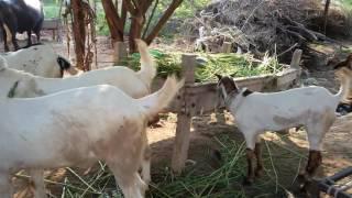 Pakistan goat farming faisalabad dasuha 242