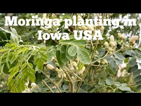 growing-moringa-in-iowa,-usa-for-leaves
