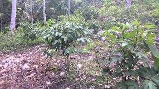 Highland Estate a Jamaican Coffee Farm