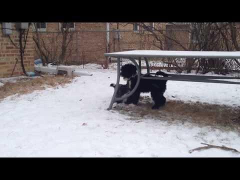 Skokie bay Portuguese Water Dog