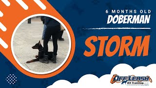 Doberman, Storm   Doberman Dog Training   Off Leash K9 Training