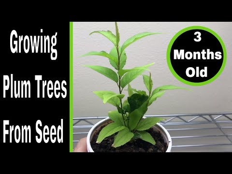 How To Grow Plum Trees From Seed, 0-3 Months
