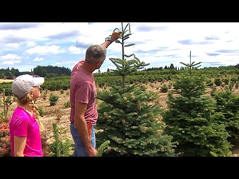 Invasive insect species could threaten Christmas tree crops