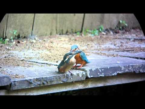Kingfisher Chick - Just Left The Nest 2