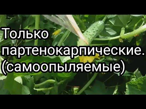 Какие сорта огурцов лучше ? Урожайность партенокарпических (самоопыляемых) огурцов и пчелоопыляемых. | самоопыляемыйогурец | пчелоопыляемые | урожайность | пустоцвет | огурец | огород | грядки