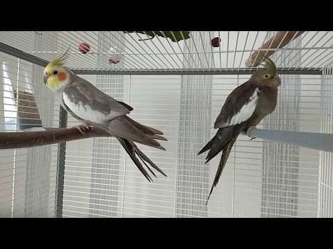 Болеет попугай корелла