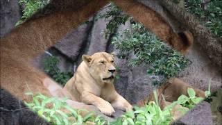 2018年7月 ライオン夫婦トムとサナお昼寝  in  浜松市動物園