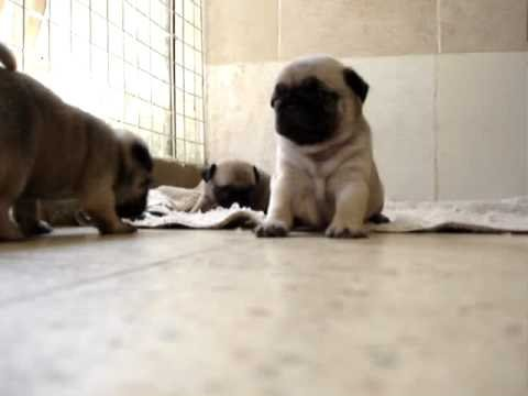 mops pug puppies 30 days old youtube. Black Bedroom Furniture Sets. Home Design Ideas