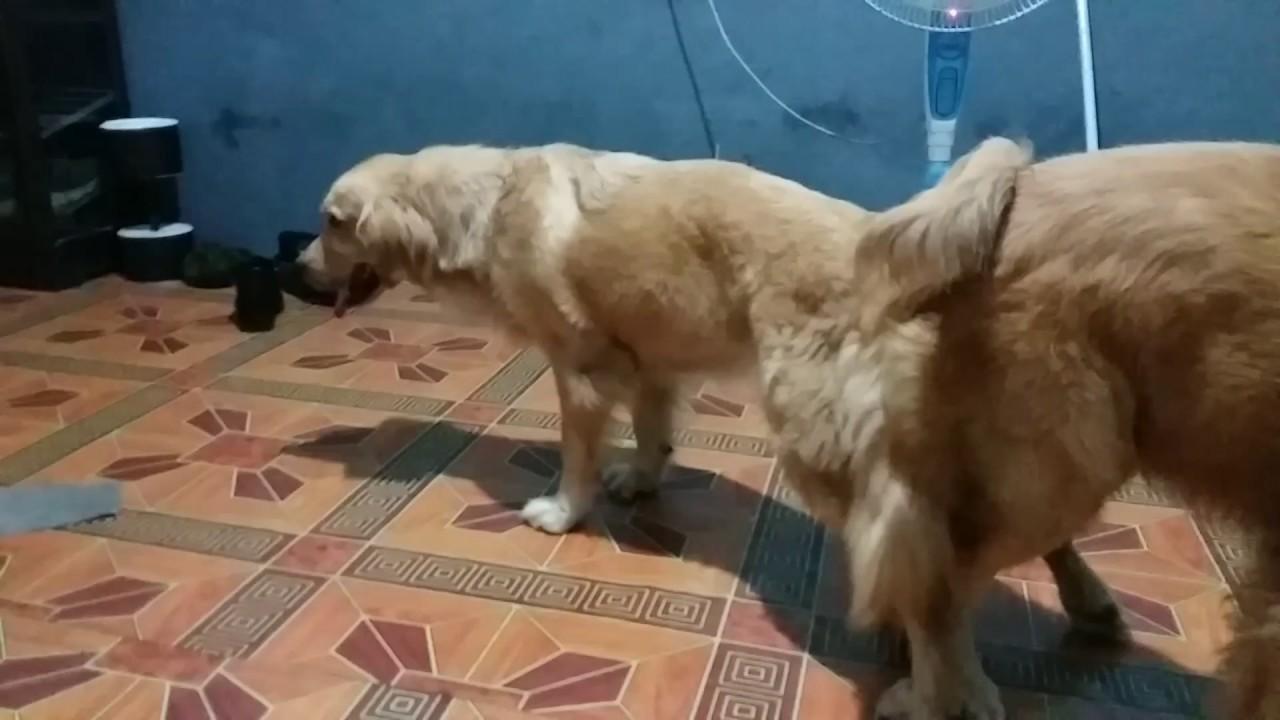 Pacak Anjing Golden Youtube