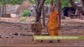 Thai Tiger Temple Defends Itself Amid Controversy