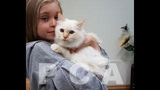 Бирманский кот ред-табби-пойнт. Выставка кошек PCA on-line