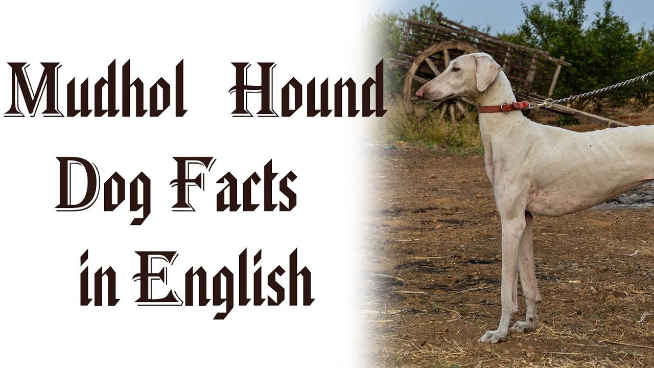 Mudhol Hound Dog Facts in English | Indian Dog Breed ...