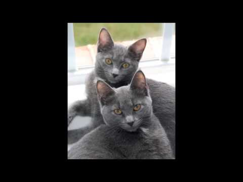 Beautiful photos of Korat cats breed