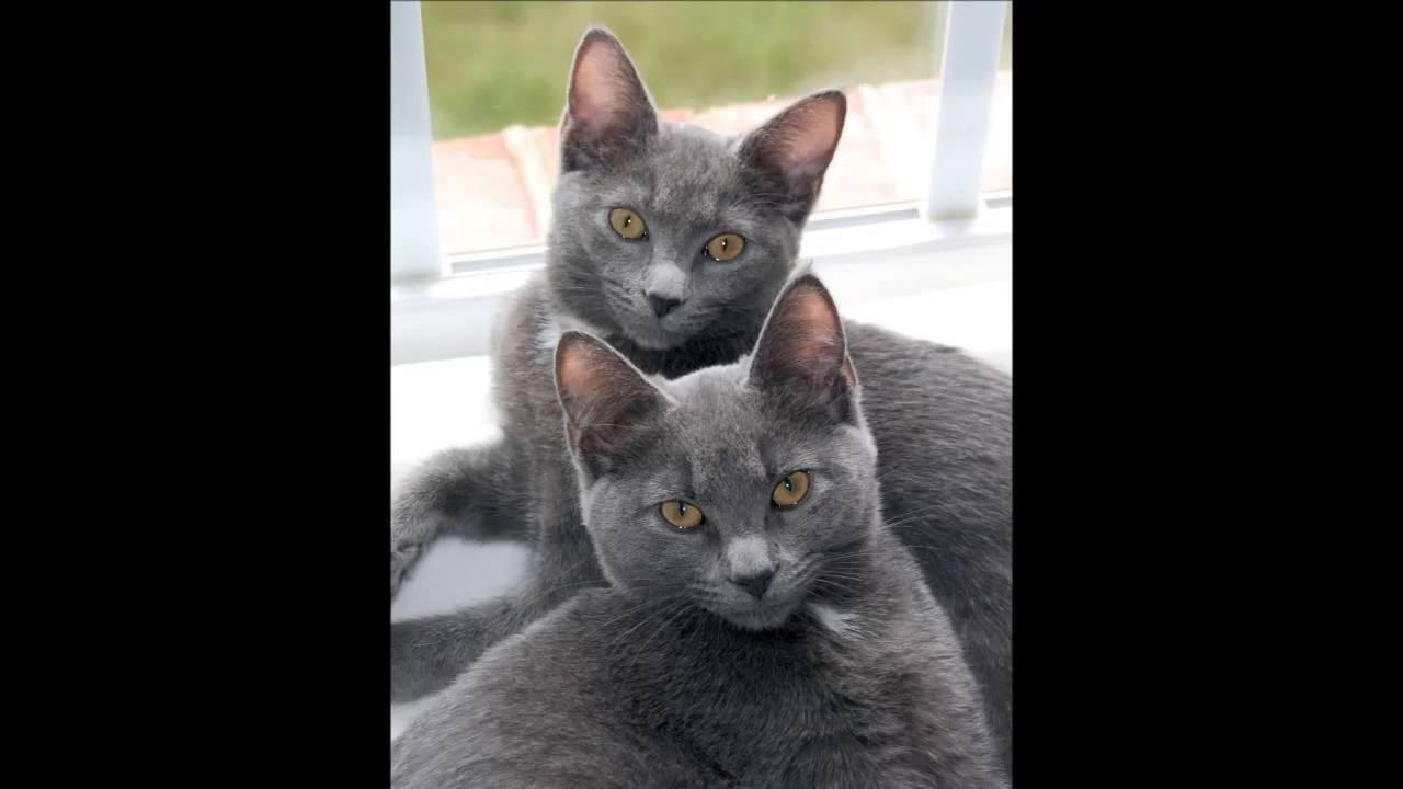 Beautiful photos of Korat cats breed
