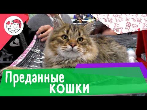 Вопрос: Какие породы кошек отличаются собачьим характером умные, верные, смелые?