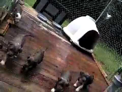 BLUE AMERICAN STAFFORDSHIRE TERRIER PUPPIES FOR SALE NOW