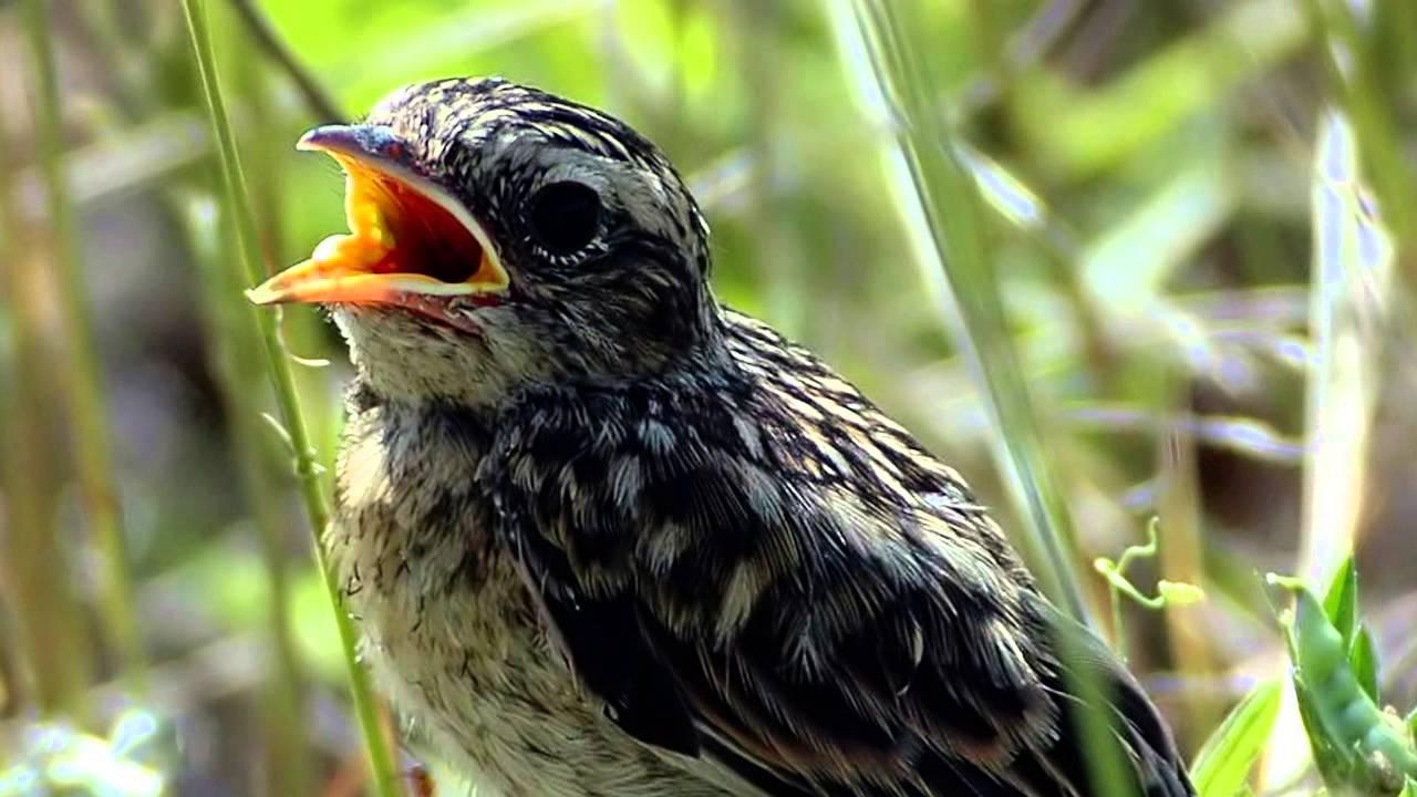 Голоса птиц. Луговой чекан. Пение птиц. Крики птиц.