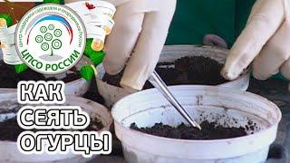 Как сеять огурцы.(Как посеять огурцы. В этом ролике инструкция о том, как правильно сеять семена огурца. Какие емкости выбрат..., 2016-03-28T17:30:00.000Z)