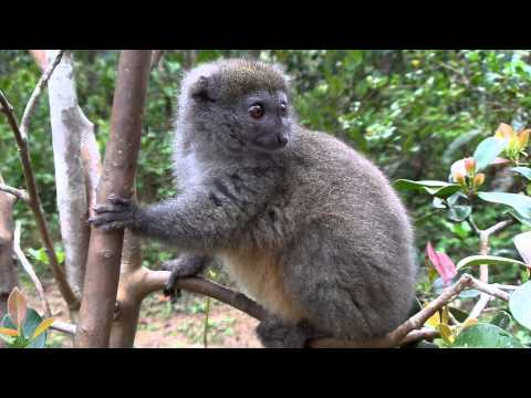 Bamboo lemur - on Lemur Island, Madagascar