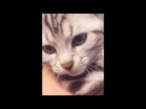american shorthair kitten haru feels good
